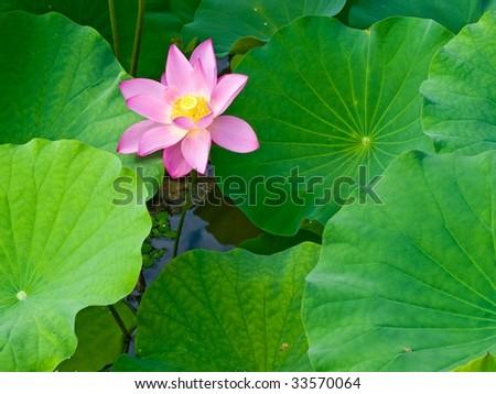 Lotus Flower Leaves Stock Photo Edit Now 33570064 Shutterstock