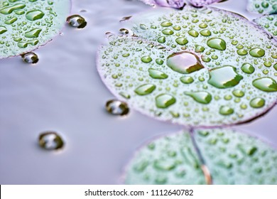 Lotus flower leaves in the wild - nature background.  Water drops on colorful lotus leaf