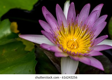 Lotus flower meanings on pinterest thailand stock photo edit now lotus flower meanings on pinterest thailand travel the lotus flower represents one symbol of fortune in mightylinksfo
