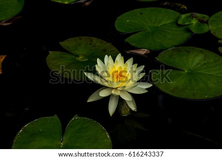Lotus Flower Meanings On Pinterest Thailand Stock Photo Edit Now