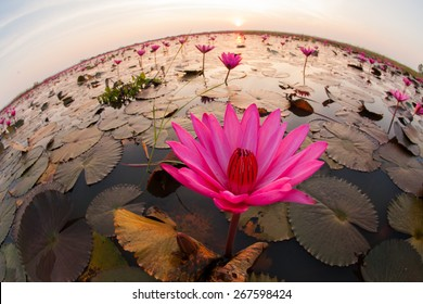 Lotus flower in mist curved fish-eye lens.