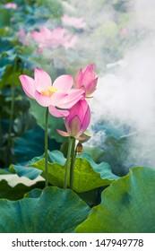 lotus flower in the morning mist