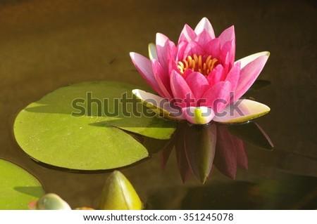 Lotus flower muddy waters stock photo edit now 351245078 a lotus flower in muddy waters mightylinksfo
