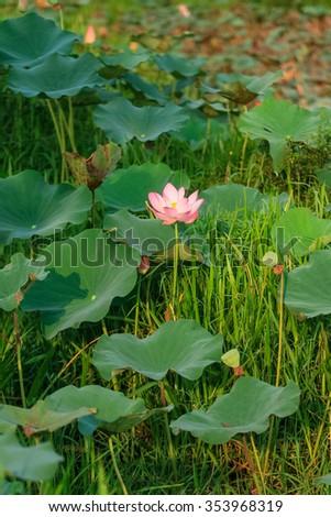 Lotus flower natural habitat stock photo edit now 353968319 lotus flower in its natural habitat mightylinksfo