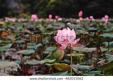 Lotus flower natural habitat stock photo edit now 482015062 lotus flower in natural habitat mightylinksfo