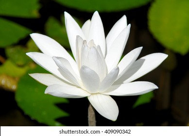 White flower korea ez canvas the lotus flower in the natural habitat of the island of balidonesia mightylinksfo