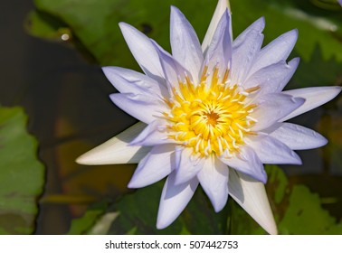 Lotus flower in nature.