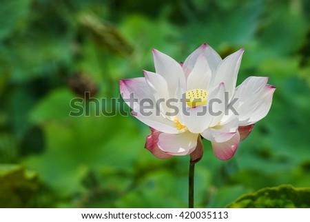 lotus-flower-nature-green-background-450