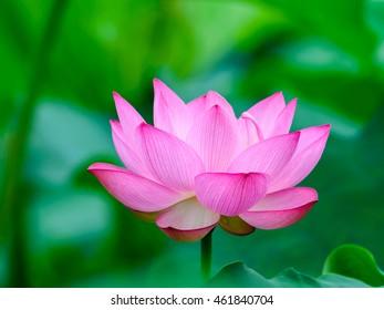 Lotus flower (Nelumbo nucifera or Indian lotus or sacred lotus) in a garden in japan.