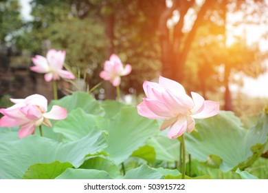 Aquatic plants names images stock photos vectors shutterstock lotus flower nelumbo nucifera known by a number of names including indian lotus mightylinksfo