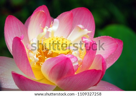 Lotus Flower Nelumbo Nucifera Known By Stock Photo Edit Now