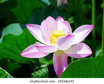 A lotus flower on the lake