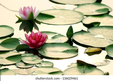 lotus flower on water