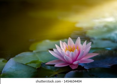 lotus flower pink nature blossom water background beautiful