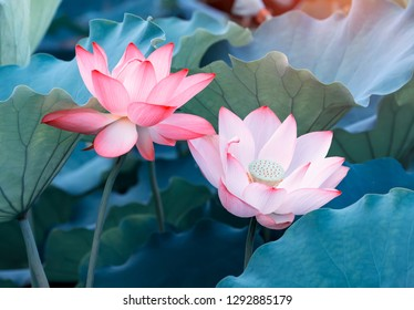Lotus flower plants in garden