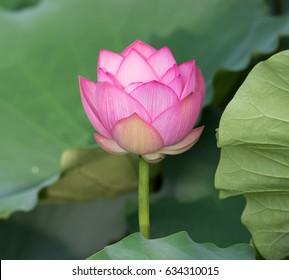 Lotus flower plants in pond