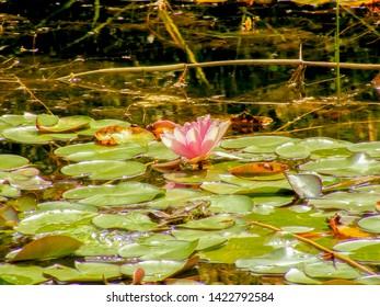 Lotus flower in the pod