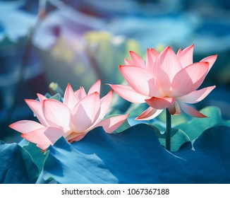 Lotus Flower Images Stock Photos Vectors Shutterstock