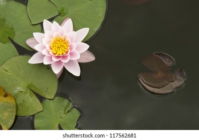 lotus flower at a pond in italy