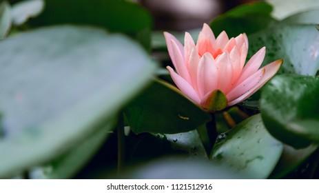 Lotus flower in pond, with lotus leaf.vintage tone.