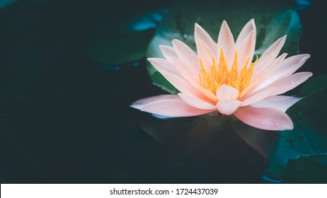 Lotus flower in pond nature concept background.