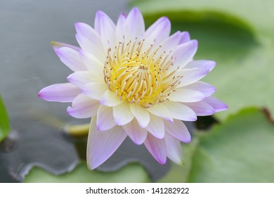 Lotus flower in the pool
