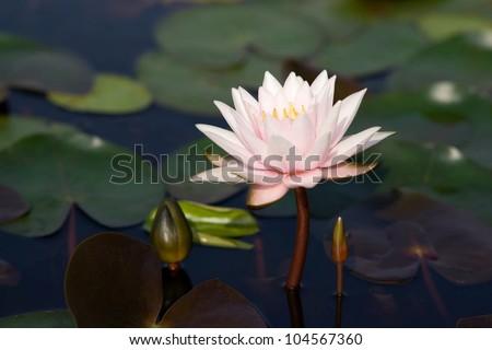 Lotus Flower Porn Stock Photo Edit Now 104567360 Shutterstock