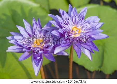 Lotus Flower Porn Stock Photo Edit Now 104567375 Shutterstock