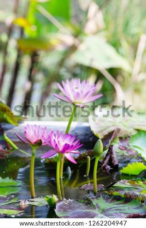 Lotus Flower Porn Stock Photo Edit Now 1262204947 Shutterstock