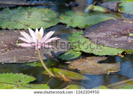 Lotus Flower Porn Stock Photo Edit Now 1262204950 Shutterstock