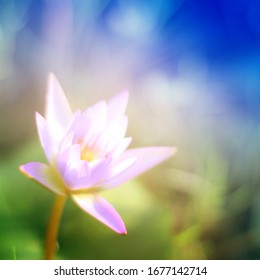 Lotus flower purple white and pink beauty colorful  blurred and blur natural. Fantasy foliage summer  green leaf in the pond. background wallpaper for blackdrop.