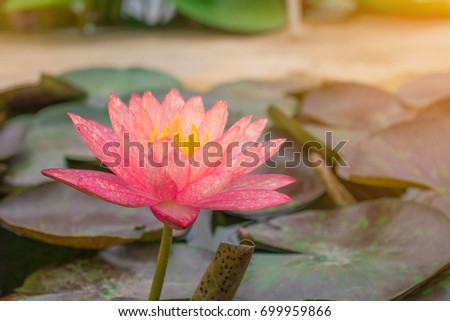 Lotus Flower Rare Flower Ancient Flower Stock Photo Edit Now