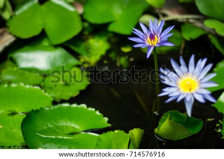 Lotus Flower Represent Peace Wisdom Stock Photo Edit Now 714576916