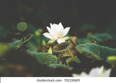 Lotus flower single solitary lonely surrounding Point of interest In the middle of green grass Lotus leaf Concept meditation Asian religious beliefs Calm zen meditate background