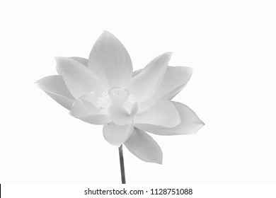 Lotus is a flower that Asian people have to worship the image of black and white background.