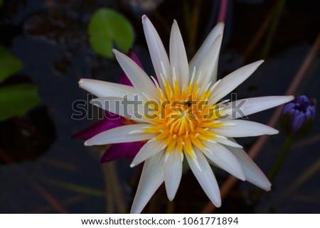Lotus Flower Flower That Grows Water Stock Photo Edit Now