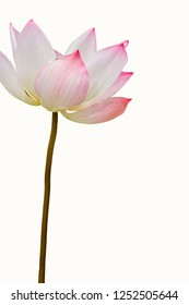 Lotus is a flower used by the Thai people for sacred worship.
