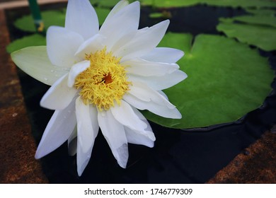 Lotus Flower or Waterlily.   Brachyceras Waterlily (Tropical Day Blooming). NYMPHAEACEAE. Colorful lotus flower. Albert de Lestang. tropical waterlily. At Queen sirikit botanic garden, Thailand.