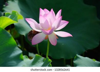 Pink Lotus Flower Among Green Foliage Stock Photo Edit Now