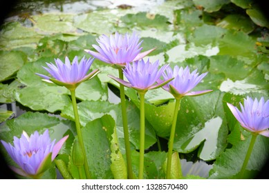 Small Lotus Flower Images Stock Photos Vectors Shutterstock