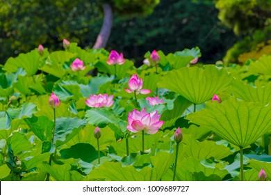 Lotus Tree Images Stock Photos Vectors Shutterstock