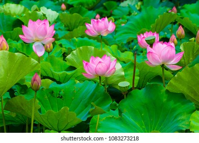 Lotus Flower.Background is the lotus leaf and lotus bud  and lotus flower.Shooting location is Yokohama, Kanagawa Prefecture Japan.