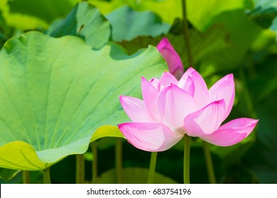 The Lotus Flower.Background is the lotus leaf and lotus bud.Shooting location is Yokohama, Kanagawa Prefecture Japan.