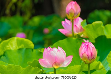 The Lotus Flower.Background is the lotus leaf and lotus flower and tree.Shooting location is  Yokohama, Kanagawa Prefecture Japan.