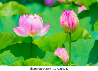 Lotus Flower.Background is the lotus leaf and lotus flower.Shooting location is Yokohama, Kanagawa Prefecture Japan.