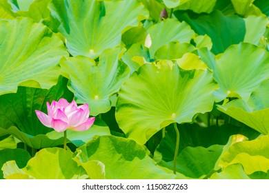 Lotus Flower.Background is the lotus leaf.Shooting location is Yokohama, Kanagawa Prefecture Japan.