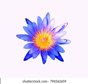 lotus flower(Director G.T. Mroore)isolate on white background.
