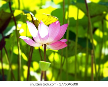Lotus flowering season is from May to July every year in NewTaipei City Erchong Floodway Lotus Park.