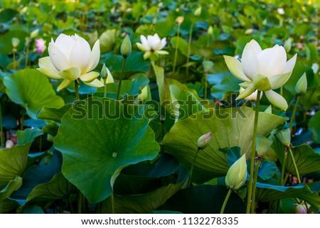 Lotus Flowers Blooming Echo Park Lake Stock Photo Edit Now