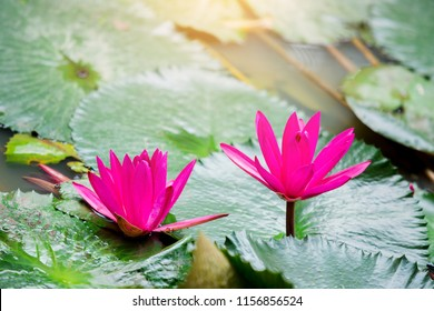 Lotus flowers blooming on green leafs background in pond.